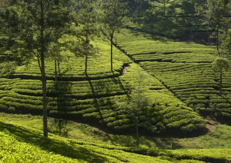 srilanka-tea-plantation
