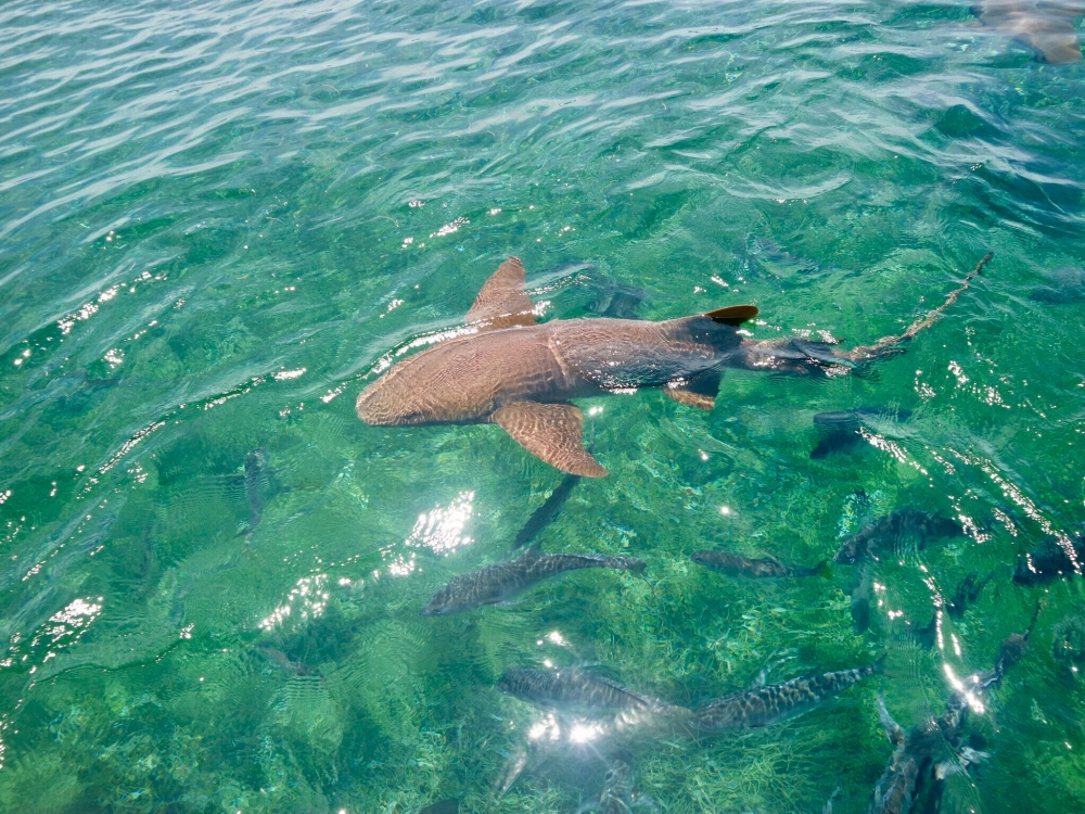 Nurse sharks; Belize reef